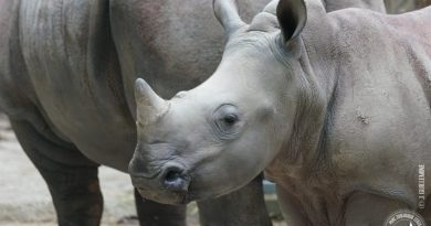 A baby rhino and her mother arrived at the Cerza Zoo, near Lisieux
