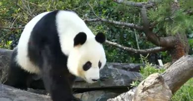 Adelaide Zoo's giant panda Fu Ni could be pregnant after artificial insemination